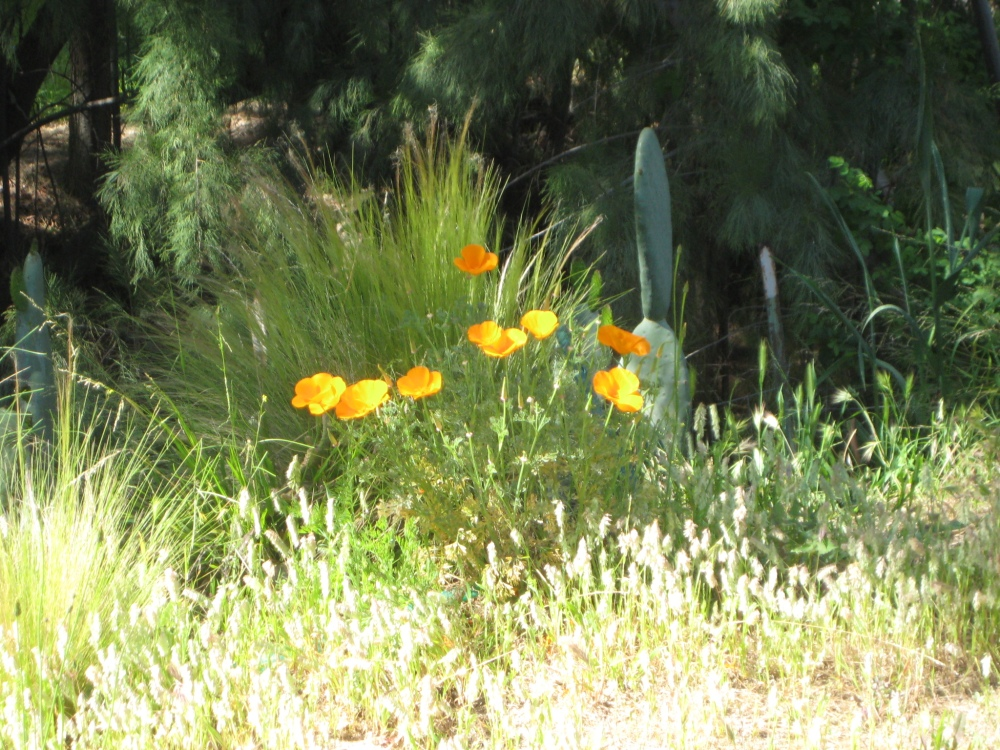 California Poppy growing at James Hayward's Ranch in Moorpark, California